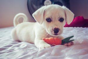 子犬噛む,おもちゃ
